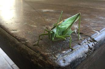 Sauterelle / Grasshopper